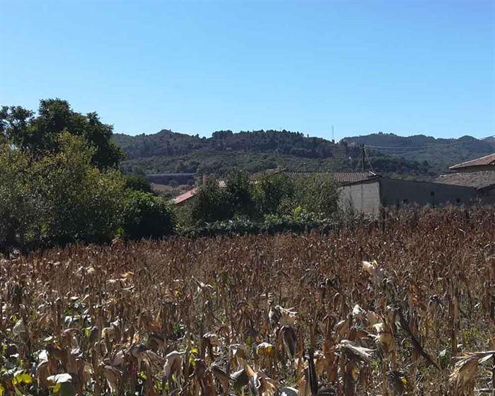Cultivo de maíz en Galicia