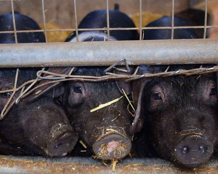 Cerdos enjaulados