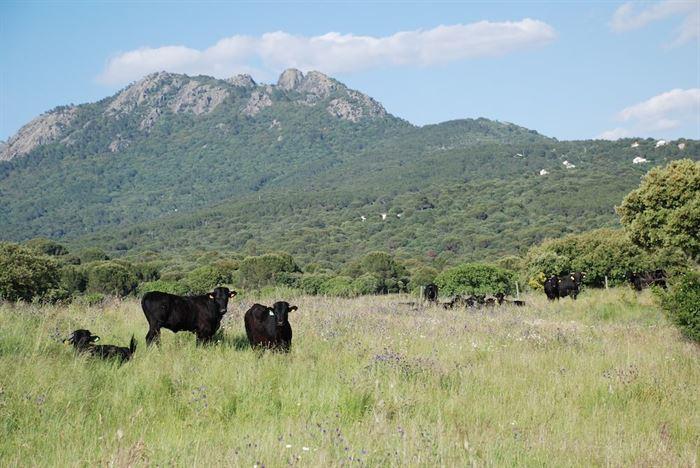 Vacas raza Avileña Negra Ibérica